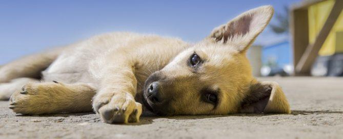 Miniguía sobre cachorros ¡en Tandem Dogs!