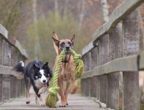 El juego en los perros (y el instinto de caza)
