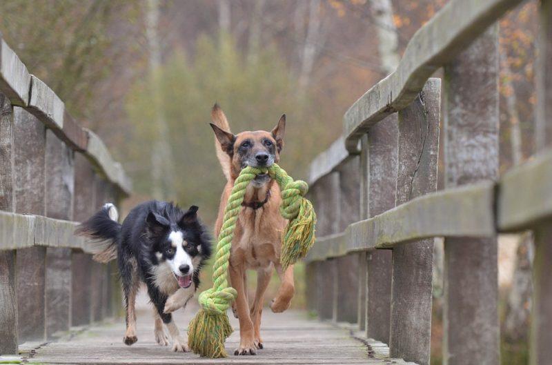 perros-jugando-malinois-border-collie