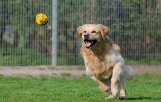 Juguetes guays para perros Golden jugando con una pelota