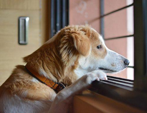 Soledad en el perro y ansiedad por separación