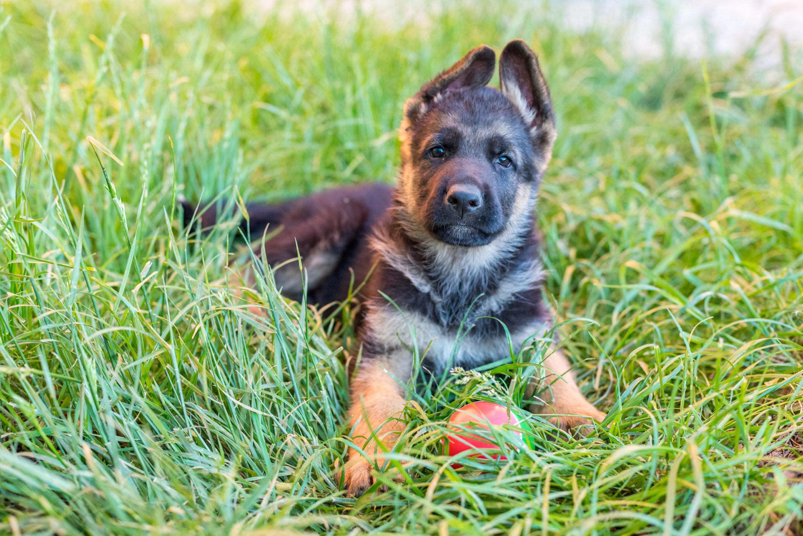 Retrato de cachorro de pastor aleman exterior