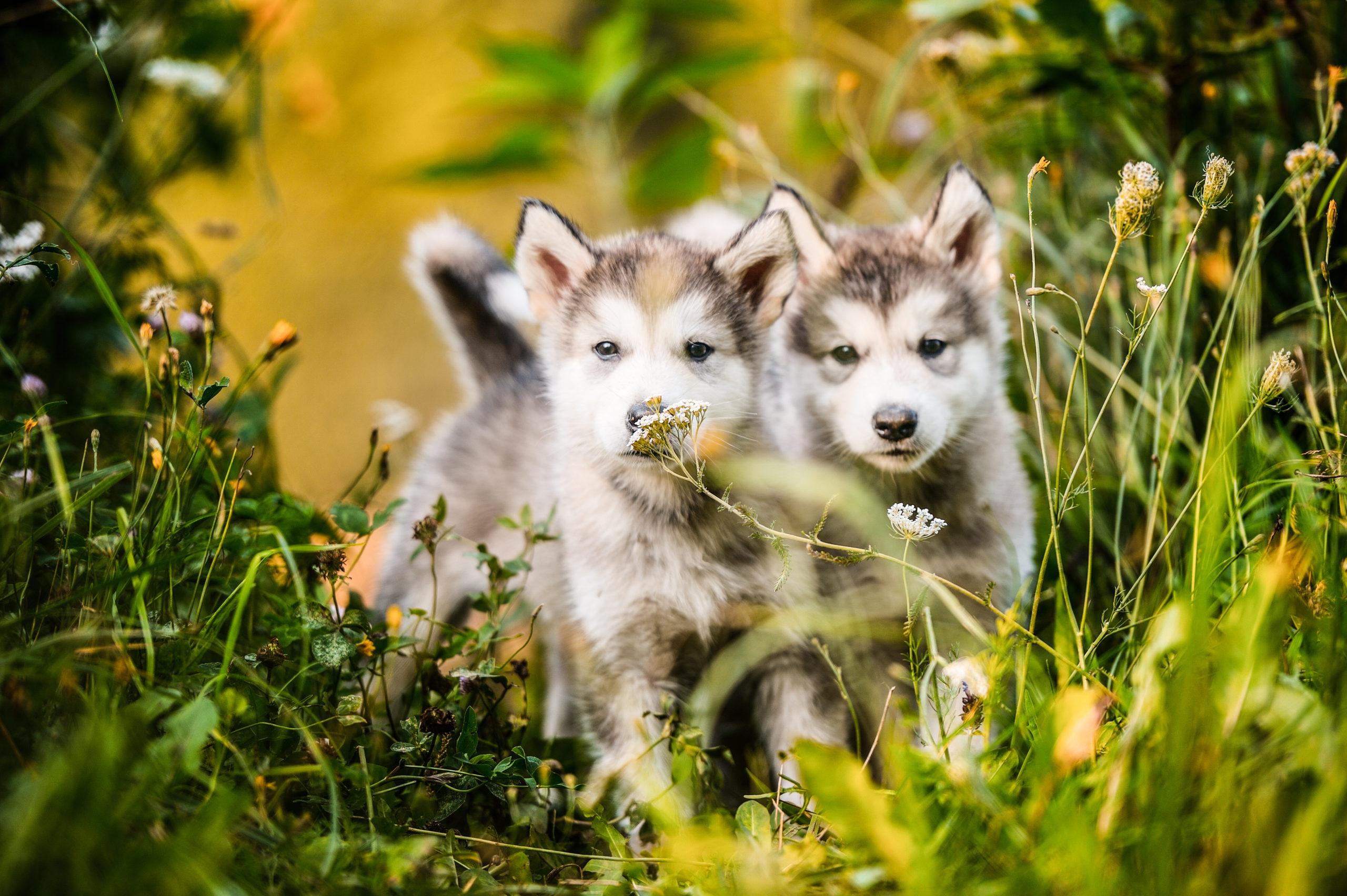 Cachorros de alaska malamut corriendo exterior