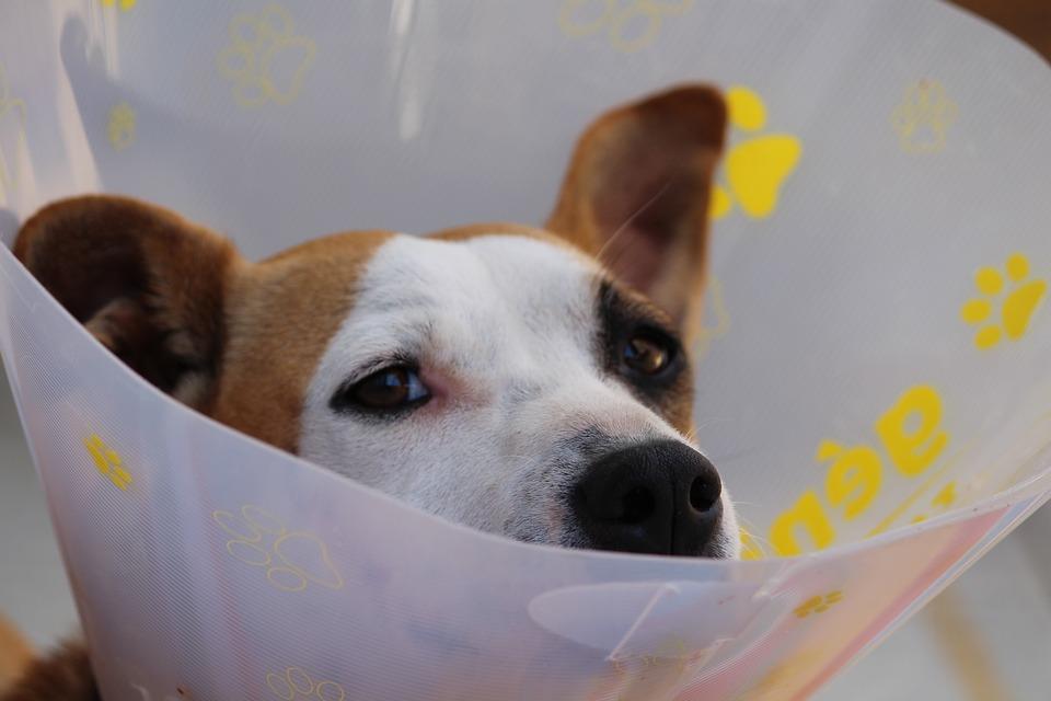 Perro con campana - Vacunación y desparasitación en perros
